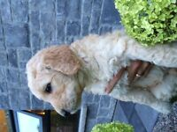 6 Adorable Goldendoodle Puppies Available