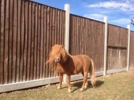 Miniature Horses for Sale