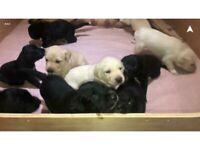 10 beautiful Labrador puppies
