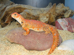 Uromastyx Geyri (Red and Yellow)