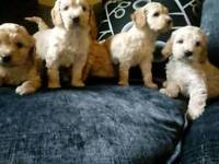 F1 COCKAPOO PUPPIES NOW AVAILABLE