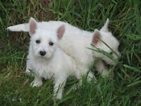 Top Quality Litter Of 9 Weeks Old West Highland Terrier Puppies 2 Boys And 2 Girls Available.