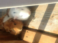 Two guinea pigs for sale with cage and accesories
