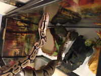 Female Ball Python, Terrarium, and much more. $250.00. OBO