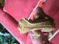 Male crested gecko breeder quality and size