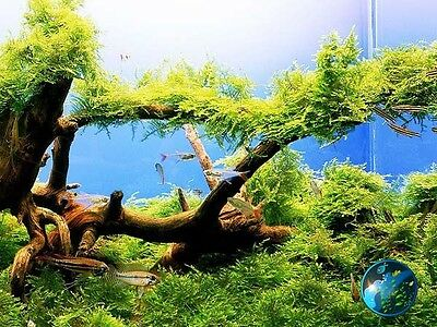 Xmas Moss - Aquarium Fish Tank 55 75 90 100 125 Gallon