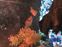 3 tetra fish for sale