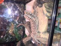 2 bearded dragons with cage