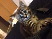 Petit chaton femelle tigrée , 2 mois et 2 semaines, vermifugée