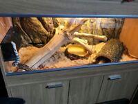 Three adult corn snakes with vivarium for sale