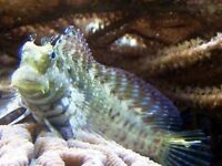 MARINE FISH / THIS IS A NICE SIZE ALGAE BLENNY , GREAT TANK CLEANER