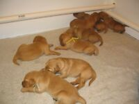 Puppies (Golden Retriever) Free To Good Home