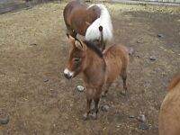 Mini mules and ponies and 2 donkeys for sale