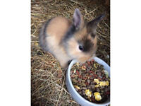 Lion head bunnies for sale