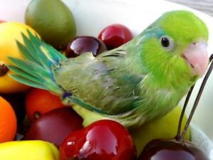 ❤** Baby Parrotlets with Cage **❤