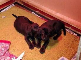 *last 2 pups* pedigree Labrador 11wks old £400