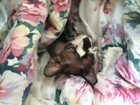 MALE SPHYNX AVAILABLE