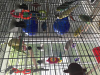 ** Adult healthy, all colors budgies, 4-6 months old **