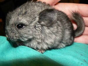 Selling baby chinchillas cheap! Get them before they're all gone