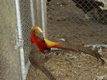 Golden Pheasants Tullamarine Hume Area Preview