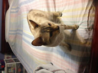 Wanted Marble Male Bengal
