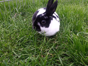 Broken black female Mini Rex bunny named DQ