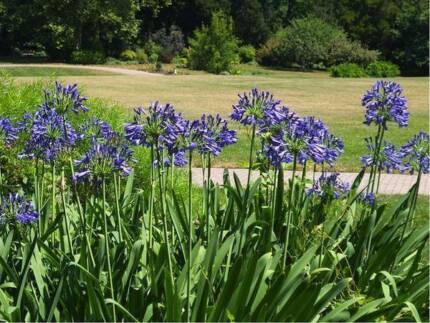 WANTED: Free Agapanthus - will dig out