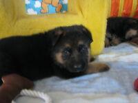 Reg. German Shepherd Puppies