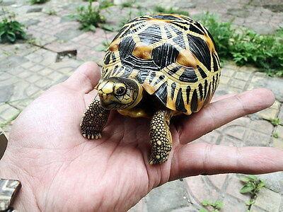 Astrochelys radiata--Radiated tortoise Turtle Replica Ornament Sculpture