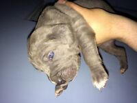 Cane corso puppies /chiots