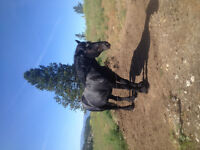 Percheron Standing at Stud