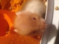 I have about 5 baby teddy bear (Syrian) hamsters for sale