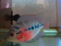 FLOWERHORN CICHLID TROPICAL FISH