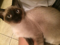 RAGDOLL/TUXEDO MIXED CATS FOR SALE!