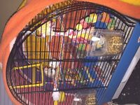 Two Zebra finches with cage n food for sale