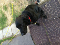 Black Lab mix family pet looking for forever home