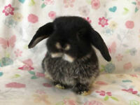 (ALL RESERVED) Mini lop babies ready 12/4/18