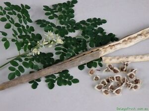 Moringa Oleifera, Miracle Tree Of Life or Drumstick Tree. Bull Creek Melville Area Preview