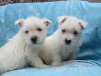 Stunning Litter Of 9 Weeks Old West Highland Terrier Puppies