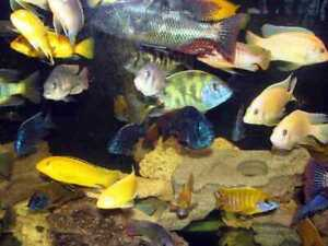 Will take Cichlids for Rehoming