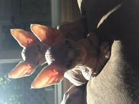 Hairless Sphynx Kittens For Sale