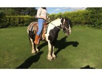 gypsy cob gelding standing 13.2hh 4 years