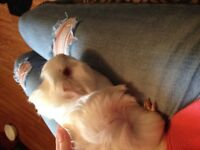 Free young guinea pig