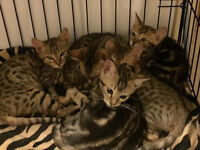 Male Purebred Bengal Kittens