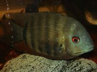 "Green severum 4.5"" for fish tank aquarium kofh"