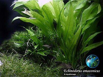 Live amazon sword plant x 3 stalks - Aquarium Plant Echinodorus amazonicus