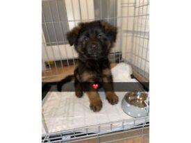 Stunning Pure Breed Long Coat German Sheperd Puppy