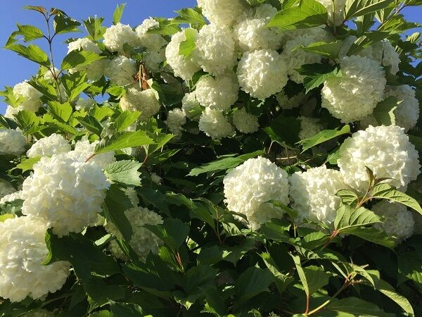 G-Blossom