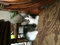 3 DOMESTIC PUREBREED TABBY KITTENS