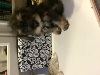 Cute Schnoodle puppies